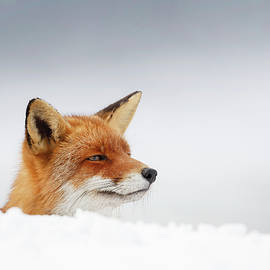Roeselien Raimond - Winter Came - Red Fox in the Snow