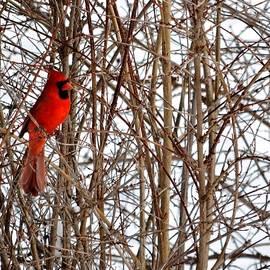 Karen  Majkrzak - Winter Cardinal