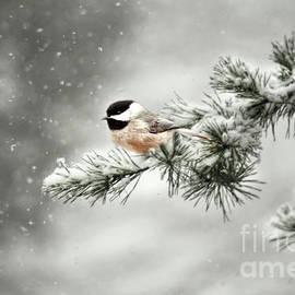 Darren Fisher - Winter Chickadee