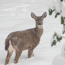Winter Deer by Marilyn Wilson