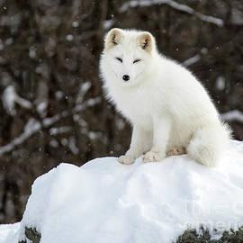 Winter Fluff by Nina Stavlund