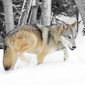 Steve McKinzie - Winter Forest Wolf
