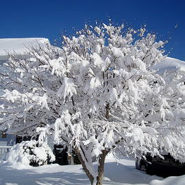 Arlane Crump - Winter Japanese Maple