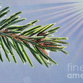 Winter Pine Branch by Sharon McConnell