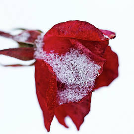 Debbie Oppermann - Winter Rose