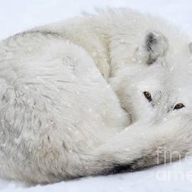 Winter Snow Wolf by Wildlife Fine Art