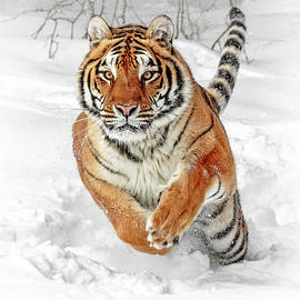 Wes and Dotty Weber - Winter Tiger