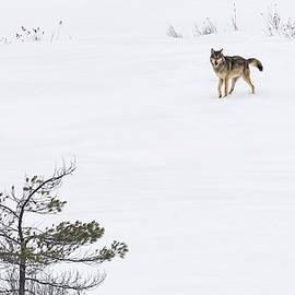 Tracy Munson - Winter Wolf