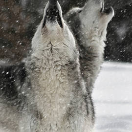 Wes and Dotty Weber - Winter Wolves