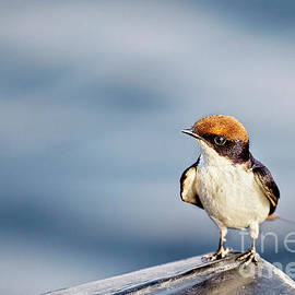 Kay Brewer - Wire-Tailed Swallow 4