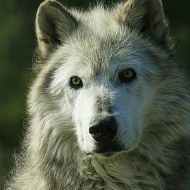 Steve McKinzie - Wolf Close Up