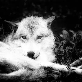 Karl Anderson - Wolf Grin