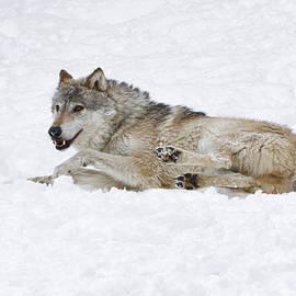 Steve McKinzie - Wolf in Snow Paint