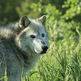 Steve McKinzie - Wolf in the Grass