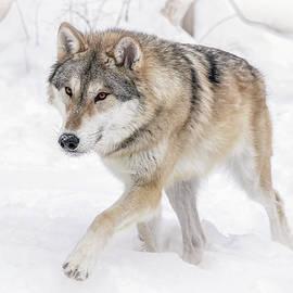 Athena Mckinzie - Wolf In The Winter Snow
