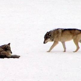 Charlene Cox - Wolf pair in snow