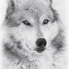 Athena Mckinzie - Wolf Portrait III