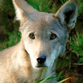 Athena Mckinzie - Wolf Pup