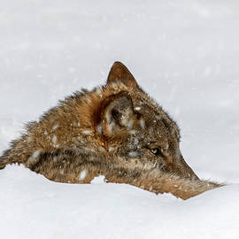 Arterra Picture Library - Wolf Resting in the Snow