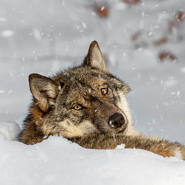 Arterra Picture Library - Wolf Resting in Winter