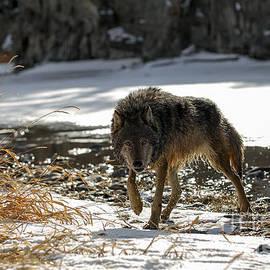 Wildlife Fine Art - Wolf Winter