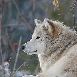 Wolve by Gina Levesque