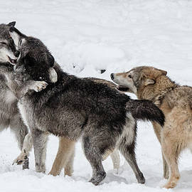 Wolves at Play by Teresa Wilson