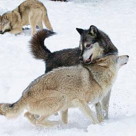 Steve McKinzie - Wolves in Cold Winter