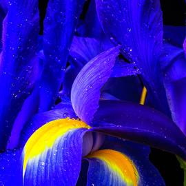 Wonderful Blue Iris Flowers - Garry Gay