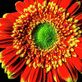 Wonderful Graphic Gerbera Daisy - Garry Gay