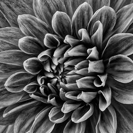 Wonderful Tones Dramantic Dahlia - Garry Gay