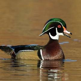 Wood duck and fall by Charlaine Jean