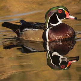 Ruth Jolly - Wood Duck on Golden Lake