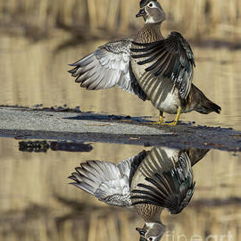 Wood duck reflection by Mircea Costina Photography