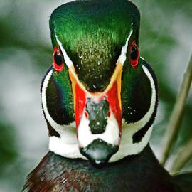 Rob Mclean - Wood Duck