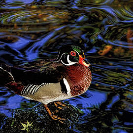 Stuart Harrison - Wood Duck