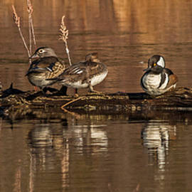 Steve Dunsford - Wood Ducks and Hooded Mergansers