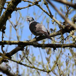 Wood Pigeon Donegal by Eddie Barron