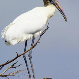 Lori Pessin Lafargue - Wood Stork