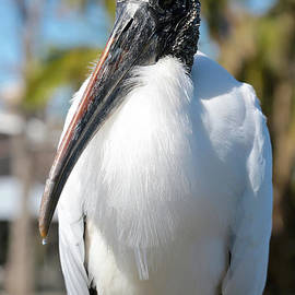 Carol Groenen - Wood Stork Portrait