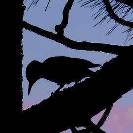 Woodpecker Silhouette