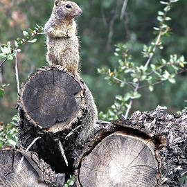 Woodpile Squirrel by Matalyn Gardner