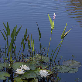 Suzanne Gaff - Yawkey Wildlife Reguge Water Lilies with Rare Plant