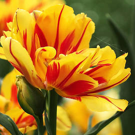 Rona Black - Yellow and Red Triumph Tulips