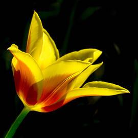 Inge Riis McDonald - Yellow and red tulip
