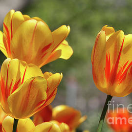 Judy Whitton - Yellow And Red Tulips #2
