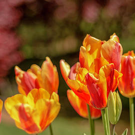 Keith Smith - Yellow and Red Tulips