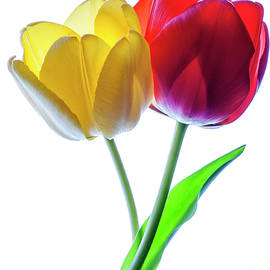 Vishwanath Bhat - Yellow and Red tulips on white