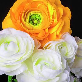Yellow And White Ranunculus - Garry Gay