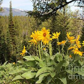 Adam Long - Yellowstone National Park wildflower Yellow Arrowleaf balsamroot